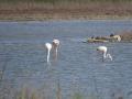 Flamingos-Ag.Mamas_